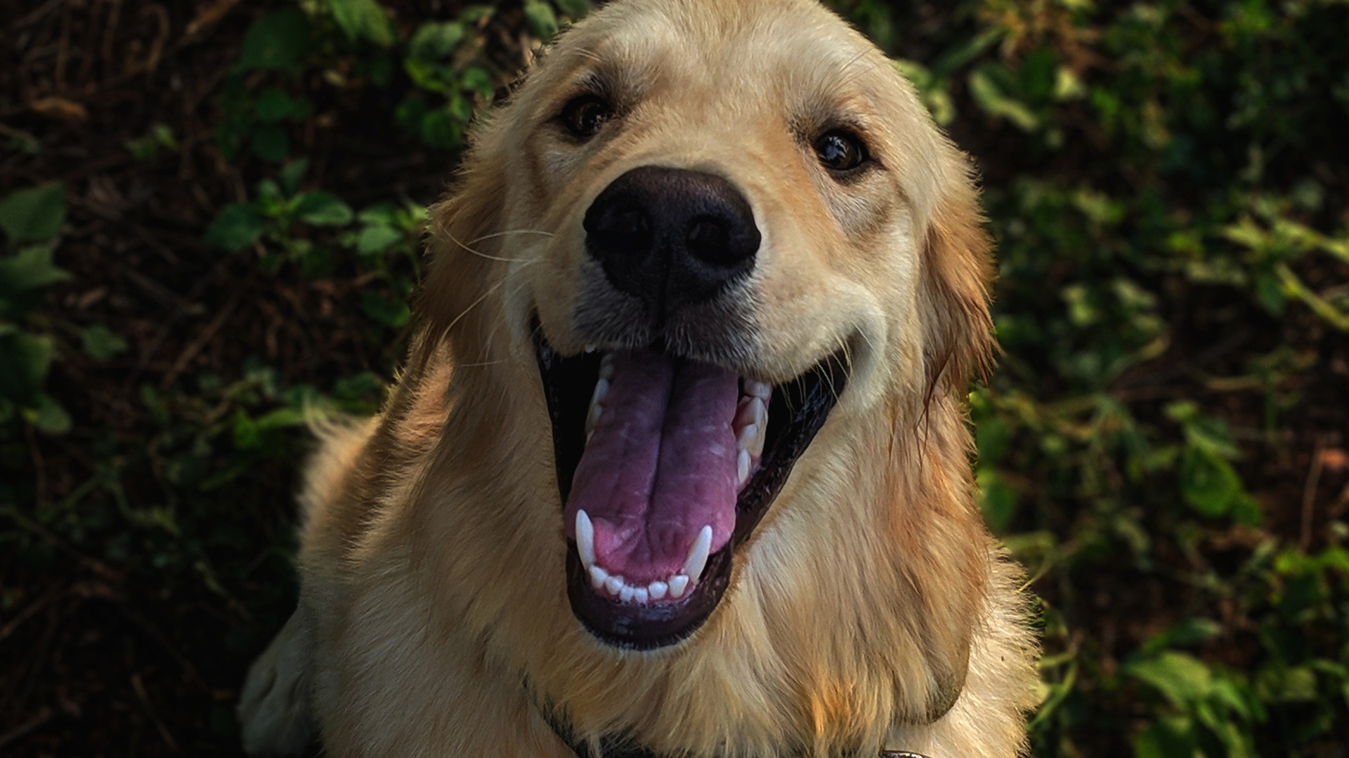 Golden retriever dentes DogDicas