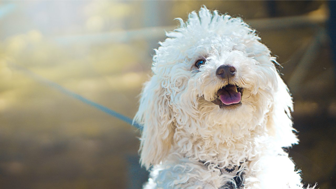 Poodle DogDicas