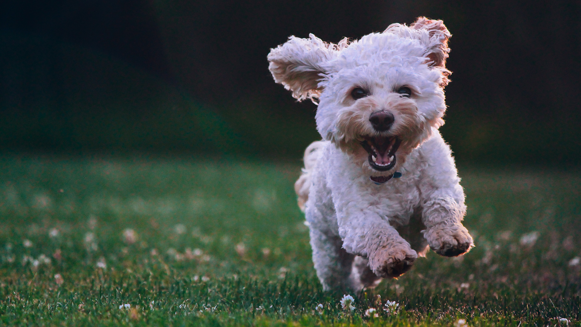 Poodle com patas avermelhadas DogDicas