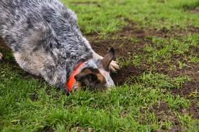 Cão enterrando ossos
