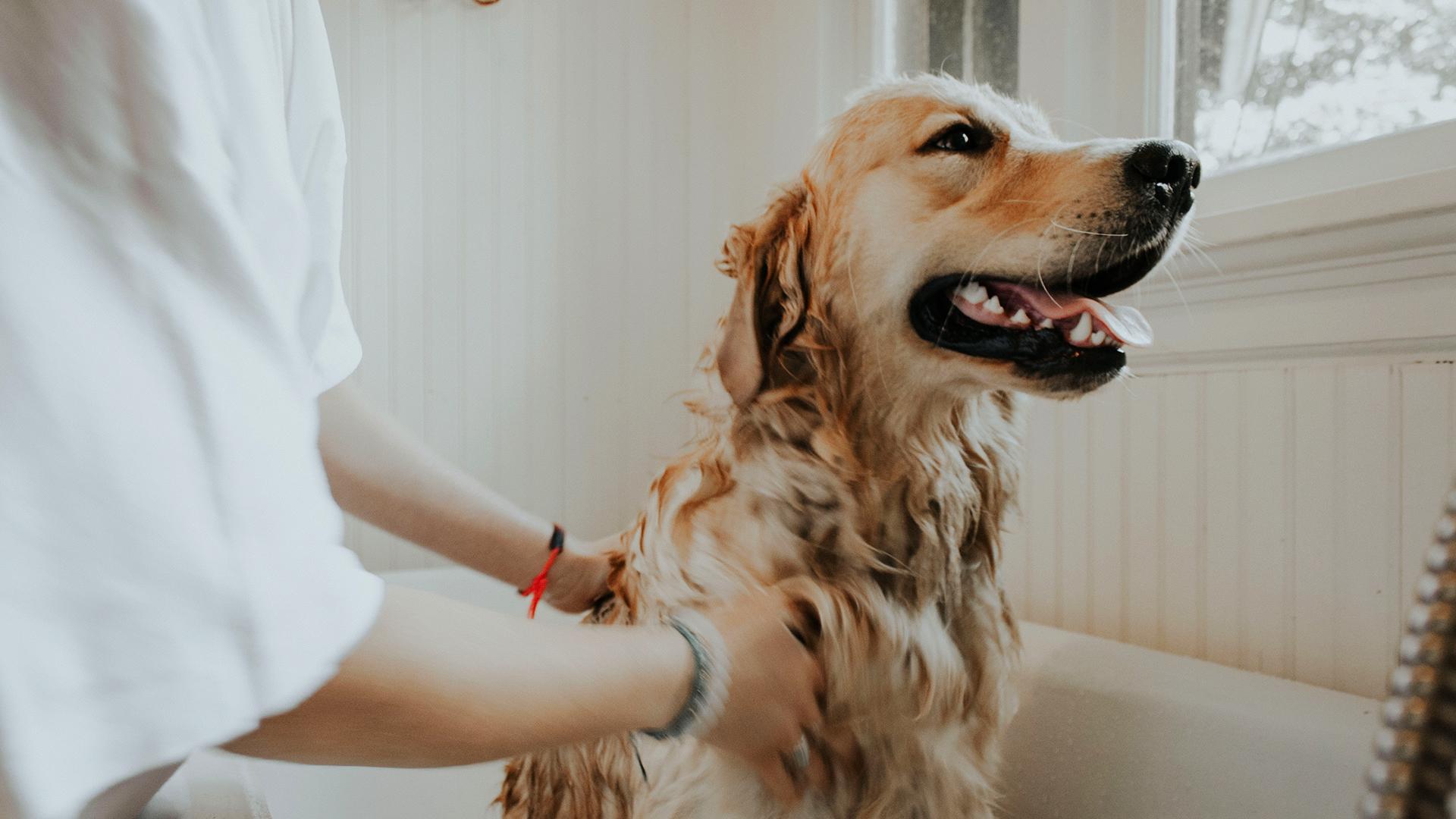 cachorro golden retriever banho DogDicas