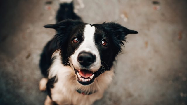 Border collie DogDicas