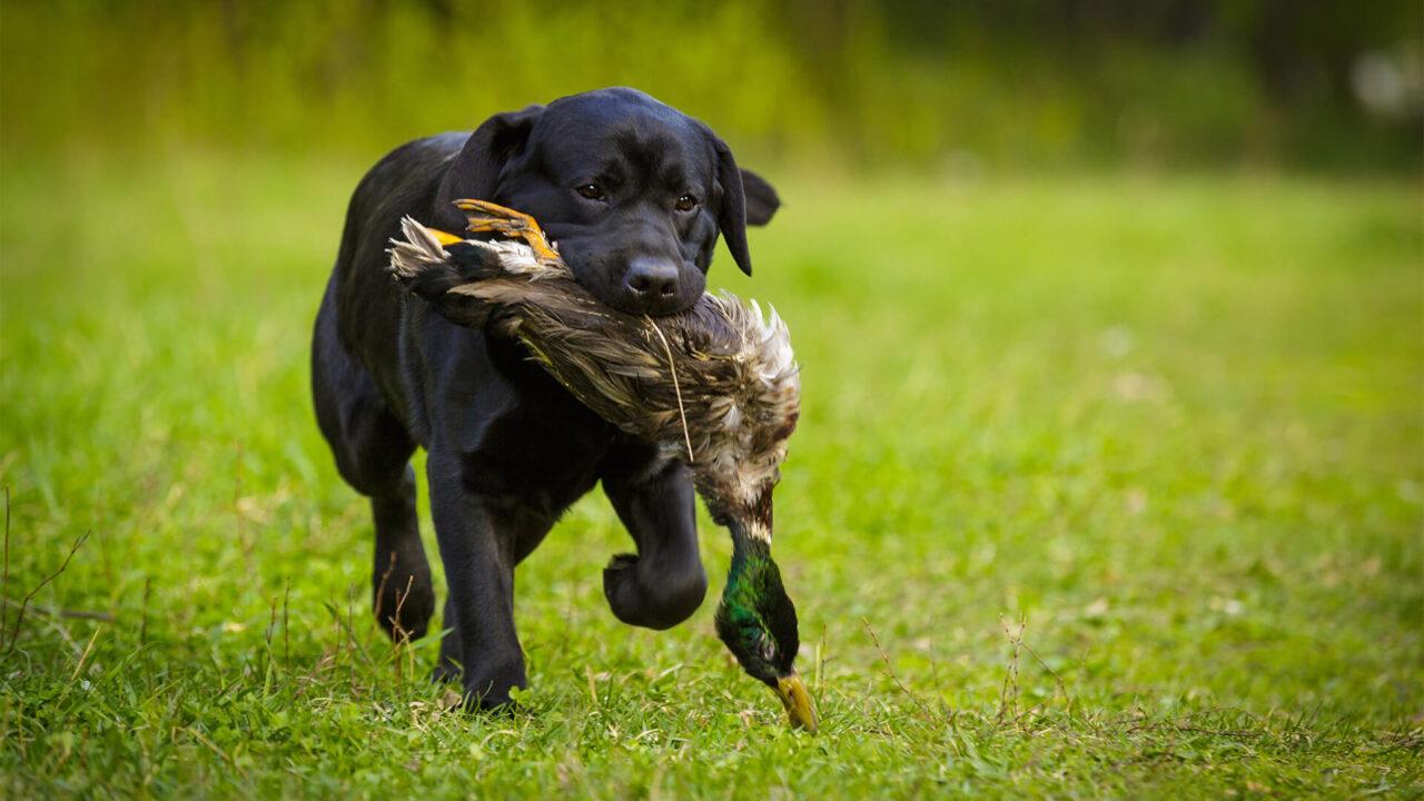 Labrador retriever com a caça